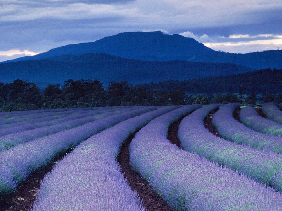 Beautiful chinese lavender fields photo