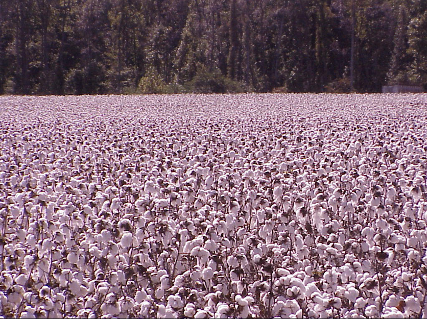 Photo of cotton field close to the Cotton Palace in Texas