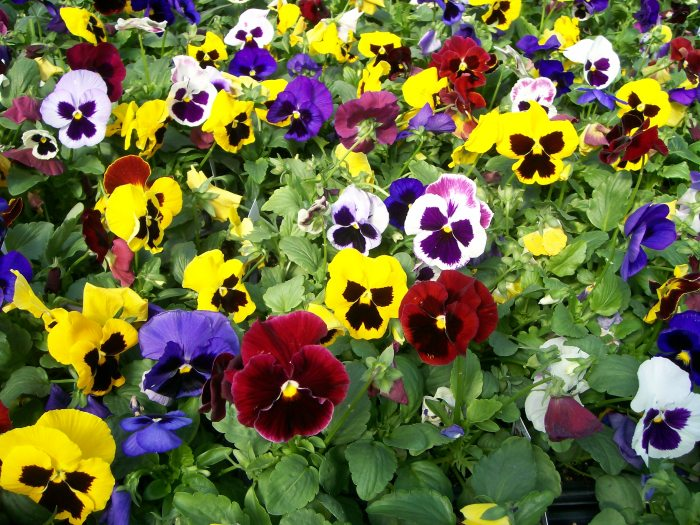 Pansy164