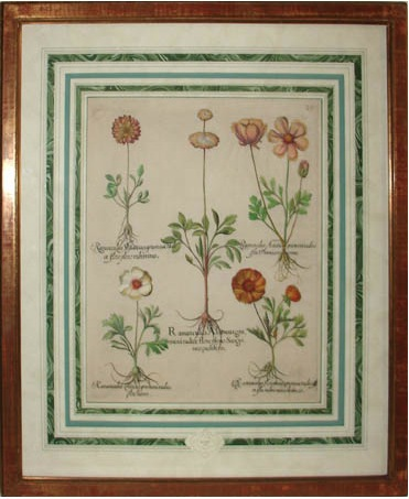 Photo of Basilius Besler antique botanicals print with french matting and burlwood framing at George Glazer, NYC