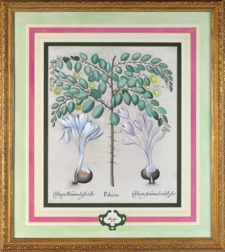 Photo of Antique Basilius Besler botanical print in french matting