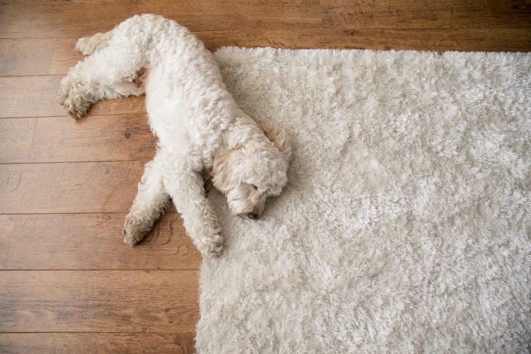 Dog lying down on hardwood floor