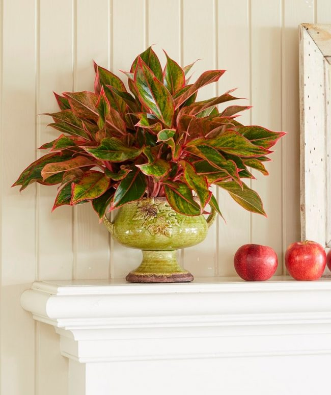 chinese evergreen houseplants that improve indoor air quality