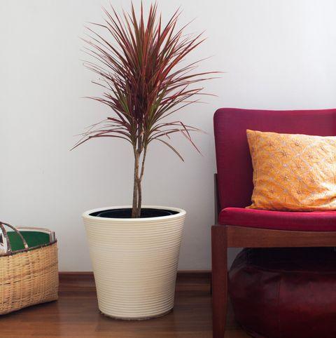 dracaena houseplants that improve indoor air quality
